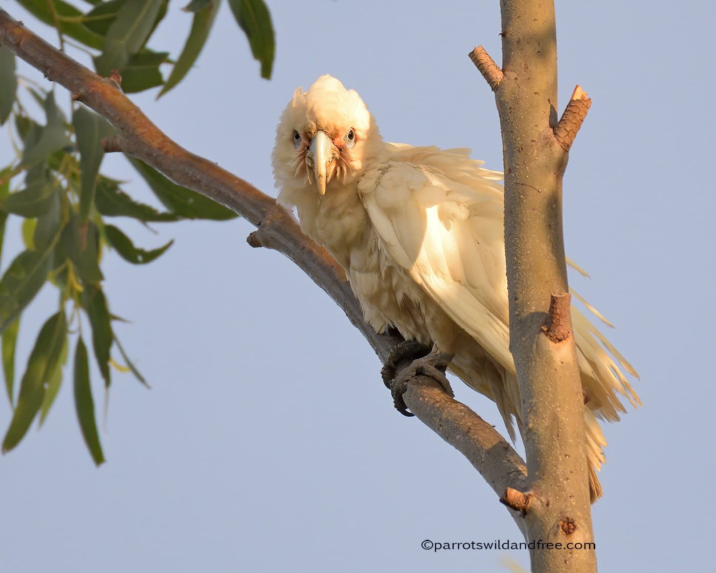 Little Corella with PBFD psittacine beak and feather disease