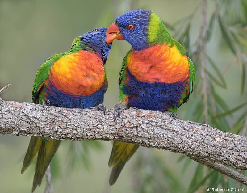 Rainbow lorikeet pair courtship feeding